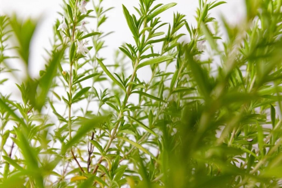 bylinka saturejka v záhrade