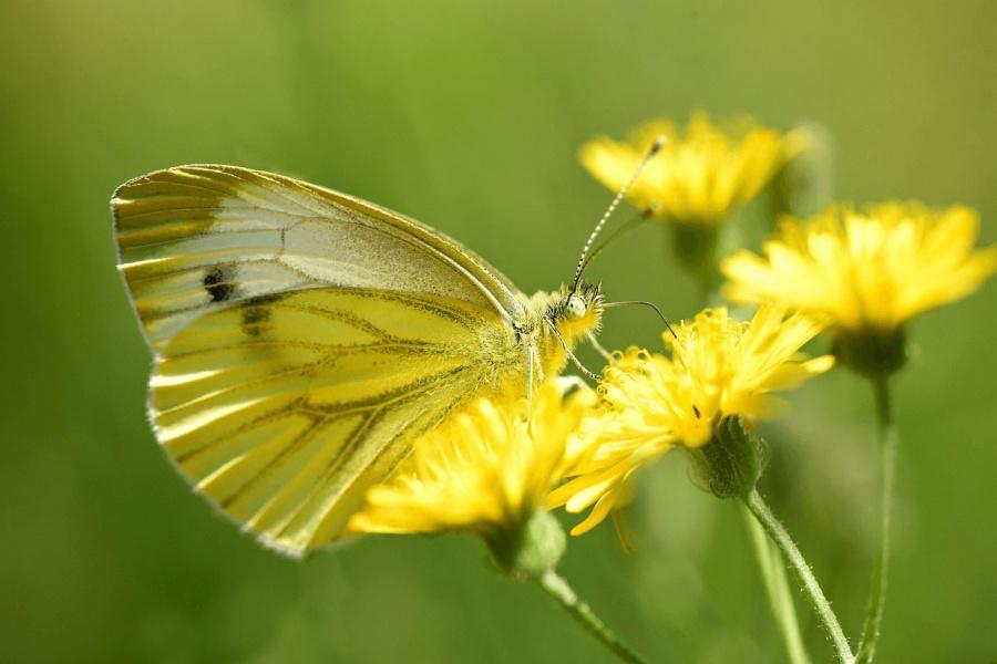 púpava na ktorej sedí motýľ