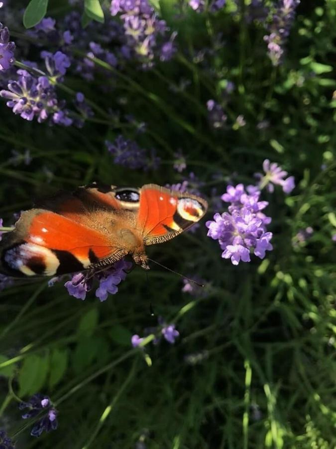 motýľ si pochutnáva na levanduľke