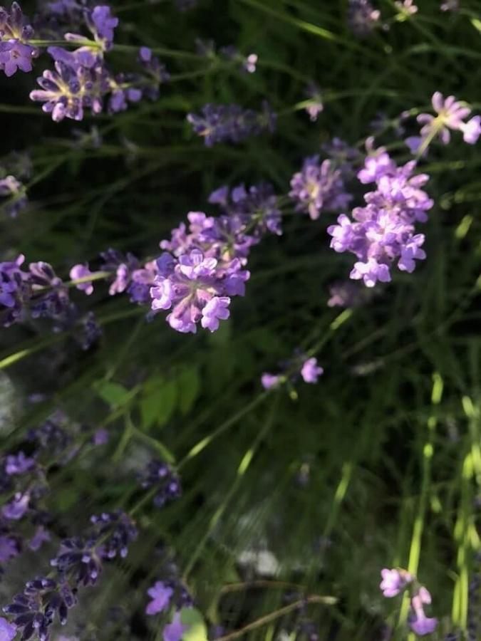 rozkvitnutá levanduľa v našej záhradke