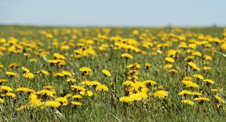 lúka plná kvetov púpavy