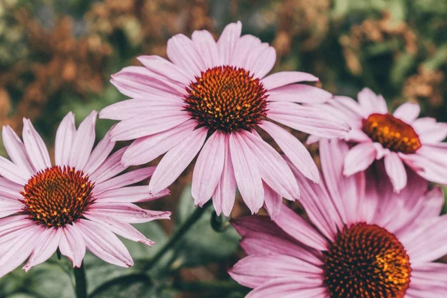 kvety echinacea - ružové